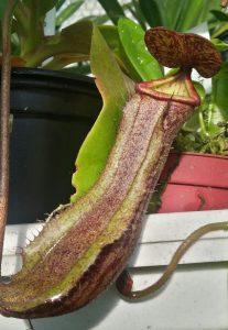 Species - N. boschiana
