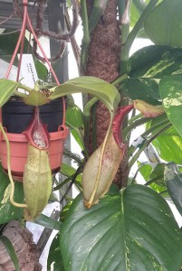 Nepenthes spatulata x N. robcantleyi