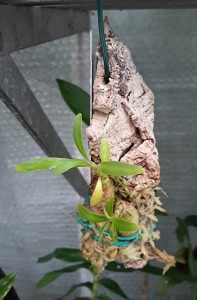 Two smaller plants mounted on a piece of cork bark in the normal greenhouse conditions