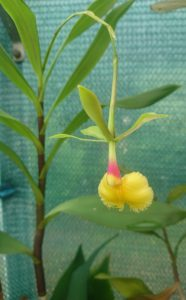 Epidendrum 'Plastic Doll'