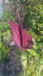 Dragon Lily Dracunculus vulgaris